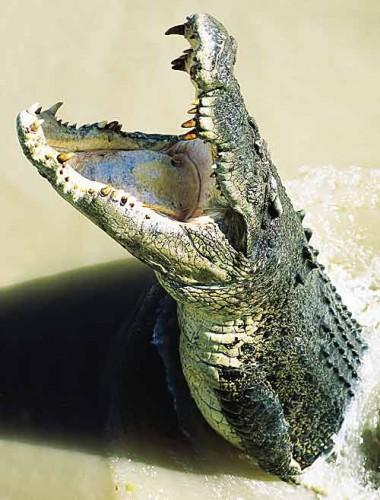11-croc04-380x500.jpg