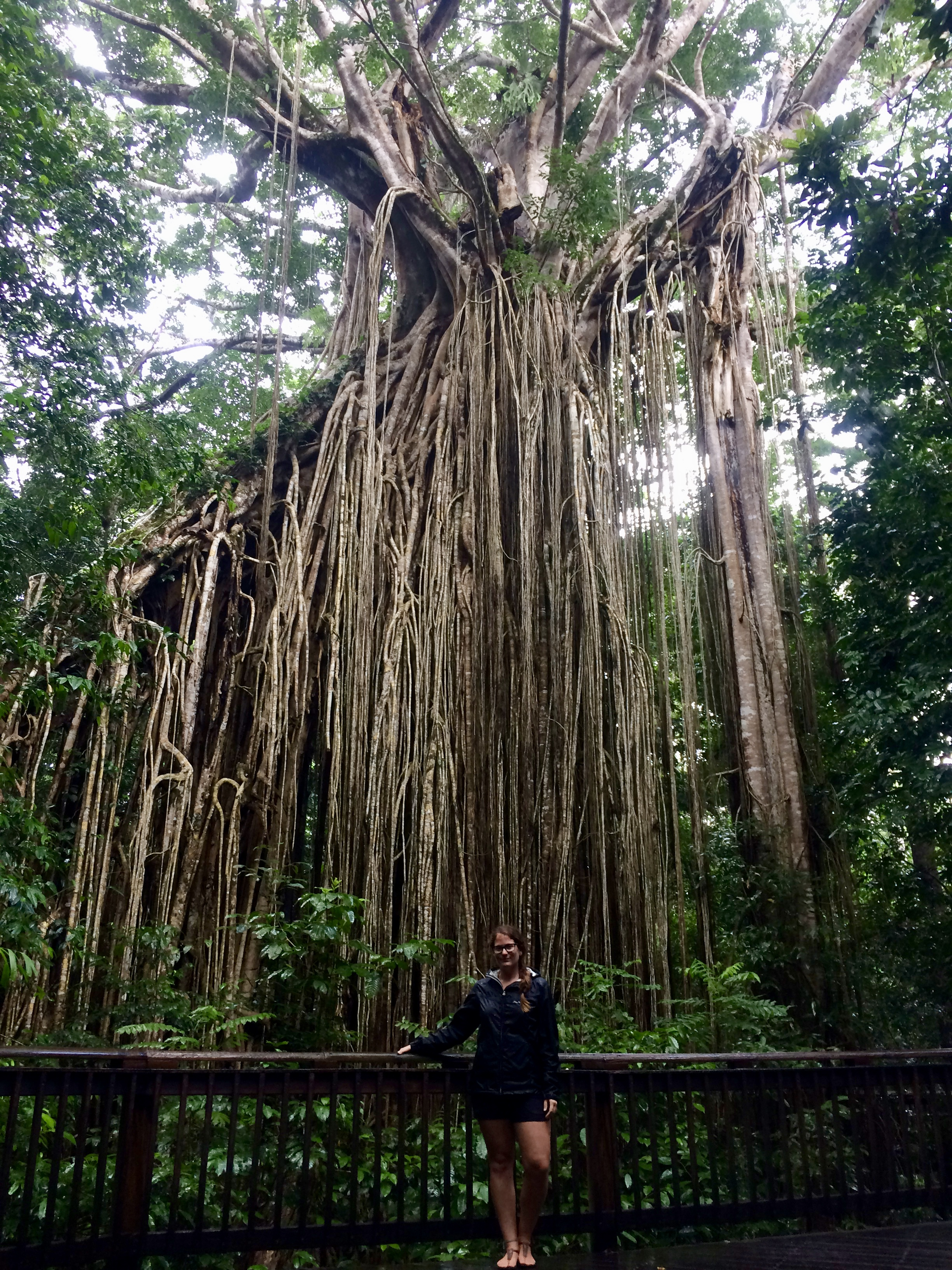 Curtain Fig tree in the Tablelands.
