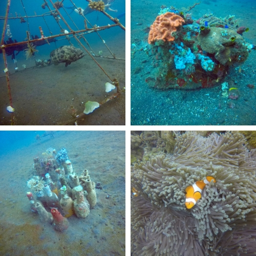 Lot of cool stuff at Tulamben; huge potato grouper, lots of little corals and tons of clown fish. I love love love clownfish!