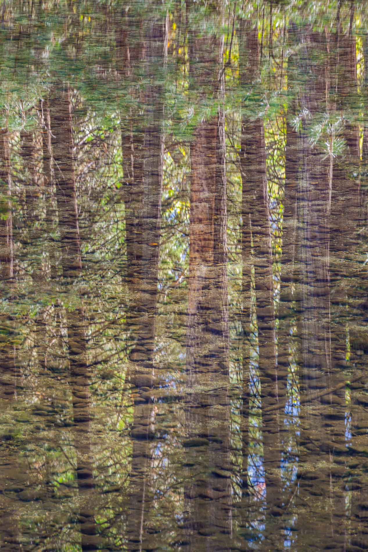 Gibb_pines_reflected_in_the_mercedLR.jpg