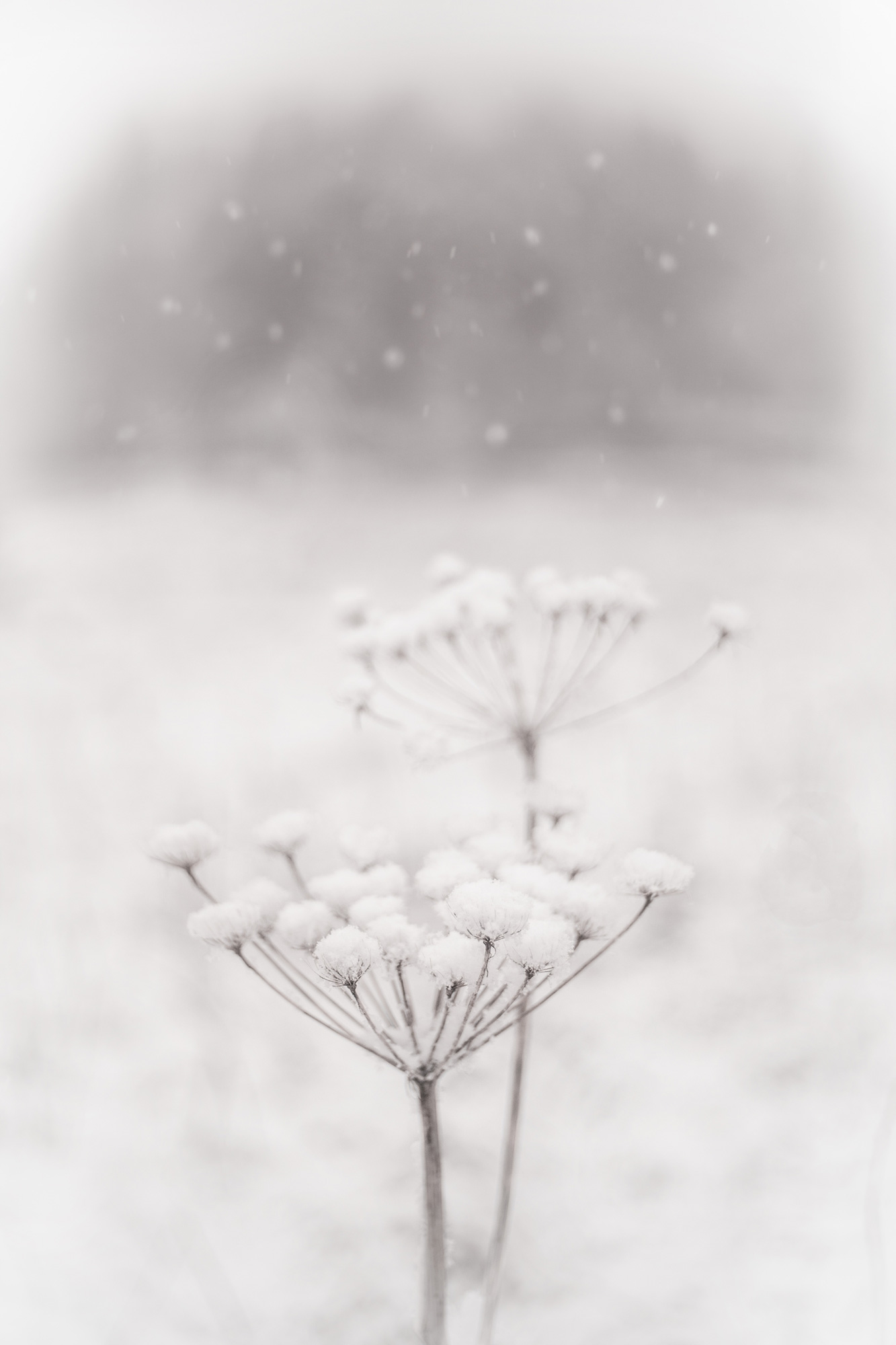 Leonard_snow_falling_on_cow_parsnipsLR.jpg