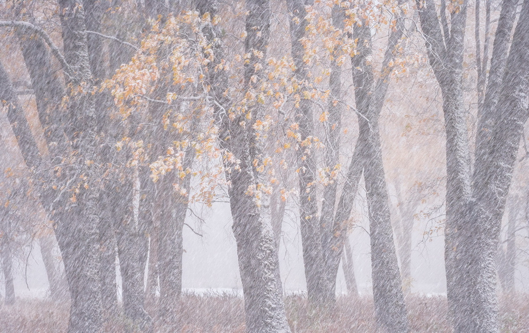 YR28--Frye, Michael, Oaks in an Autumn Snowstorm.jpg