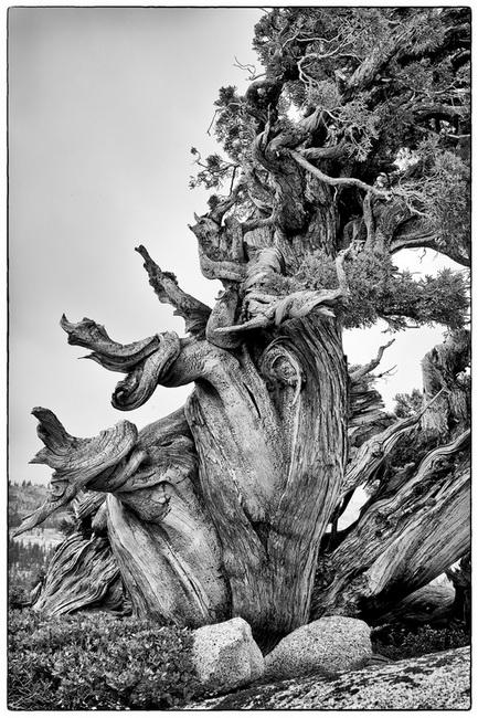 YR 27--Hulden, Jodie, Gnarled Tree.jpg