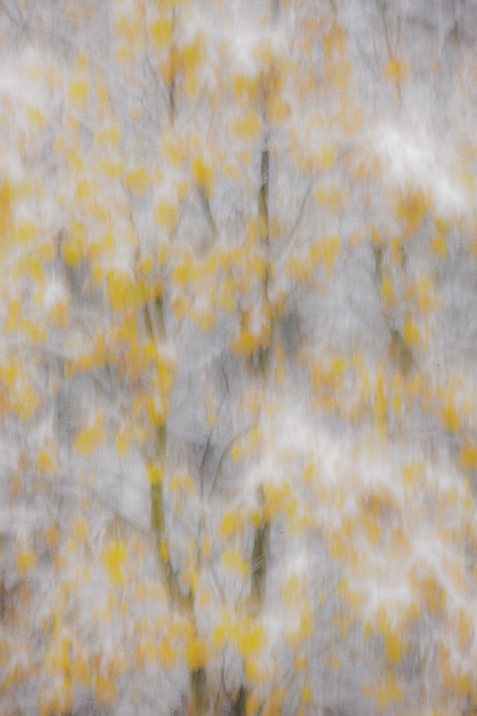 YR 27--Neill, William, Oaks in Autumn Snowstorm, Ahwahnee, Ca.jpg