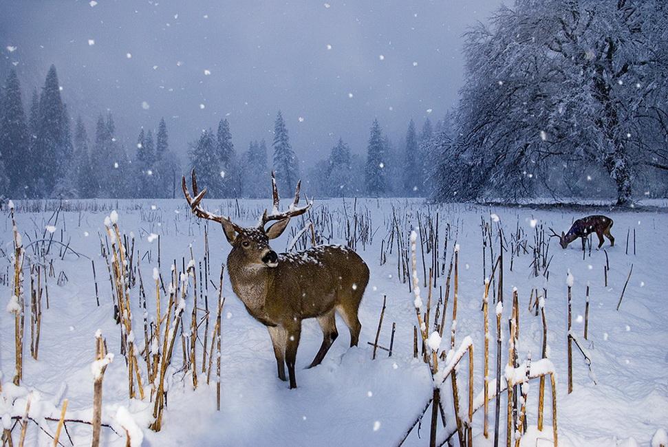 YR 25--Estin, Ira, Buck in Snow.jpg