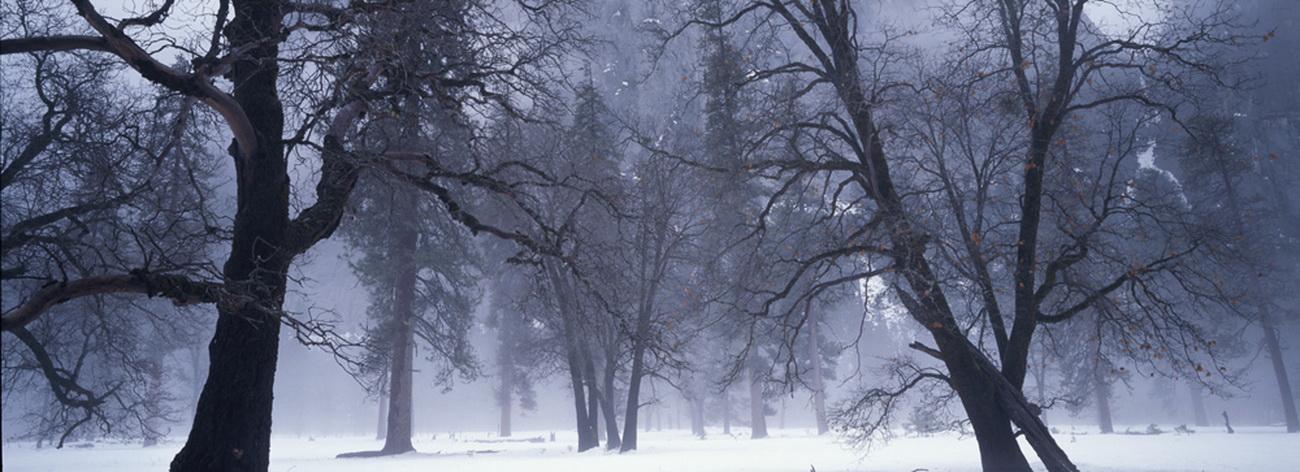 YR 25--Katz, Michael, Winter Oaks In Fog.jpg