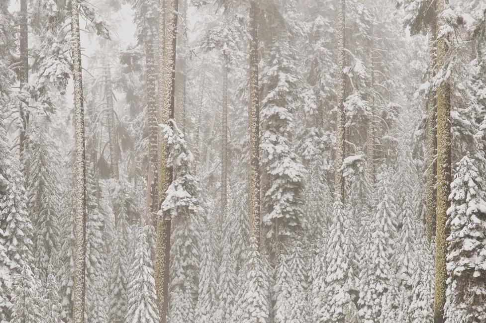 YR 25--Sakols, Hugh, Snow on Firs.jpg