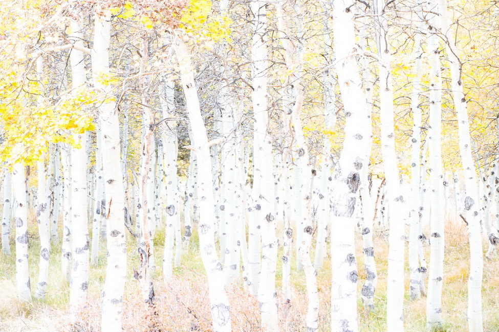 YR 23--Frye, Michael, Spotted Aspens, Lundy Canyon.jpg