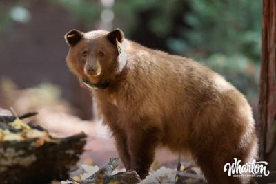 Collared Bear, Yosemite National Park. Photograph by Ryan Wharton