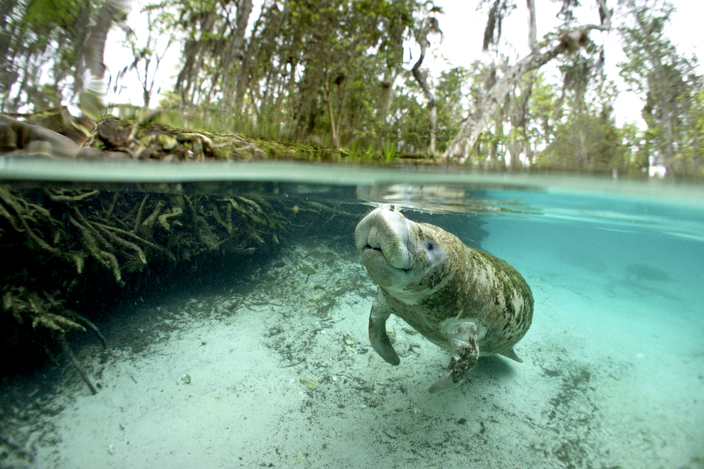 river ventures, swim with manatee, crystal river, three sisters spring
