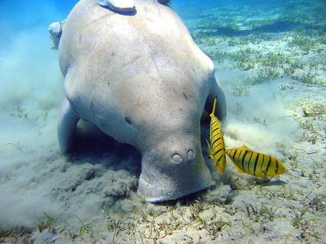 OK, technically this one is a dugong. You got me. Image from Julien Willem/Wikimedia Commons.