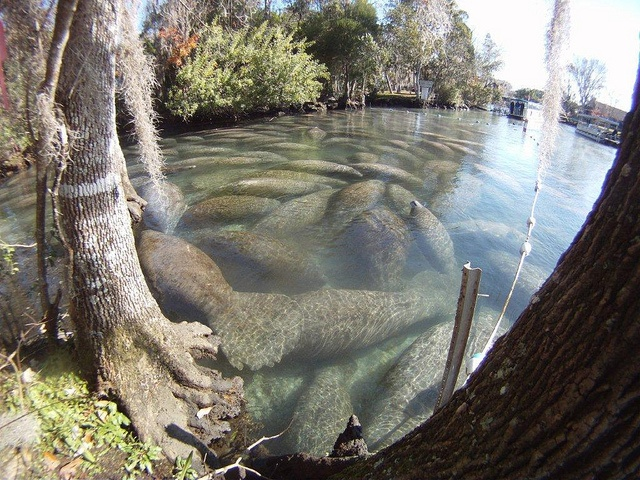 The Crystal River National Wildlife Refuge is home to many manatees. Image from U.S. Fish and Wildlife Endangered Species/Flickr.