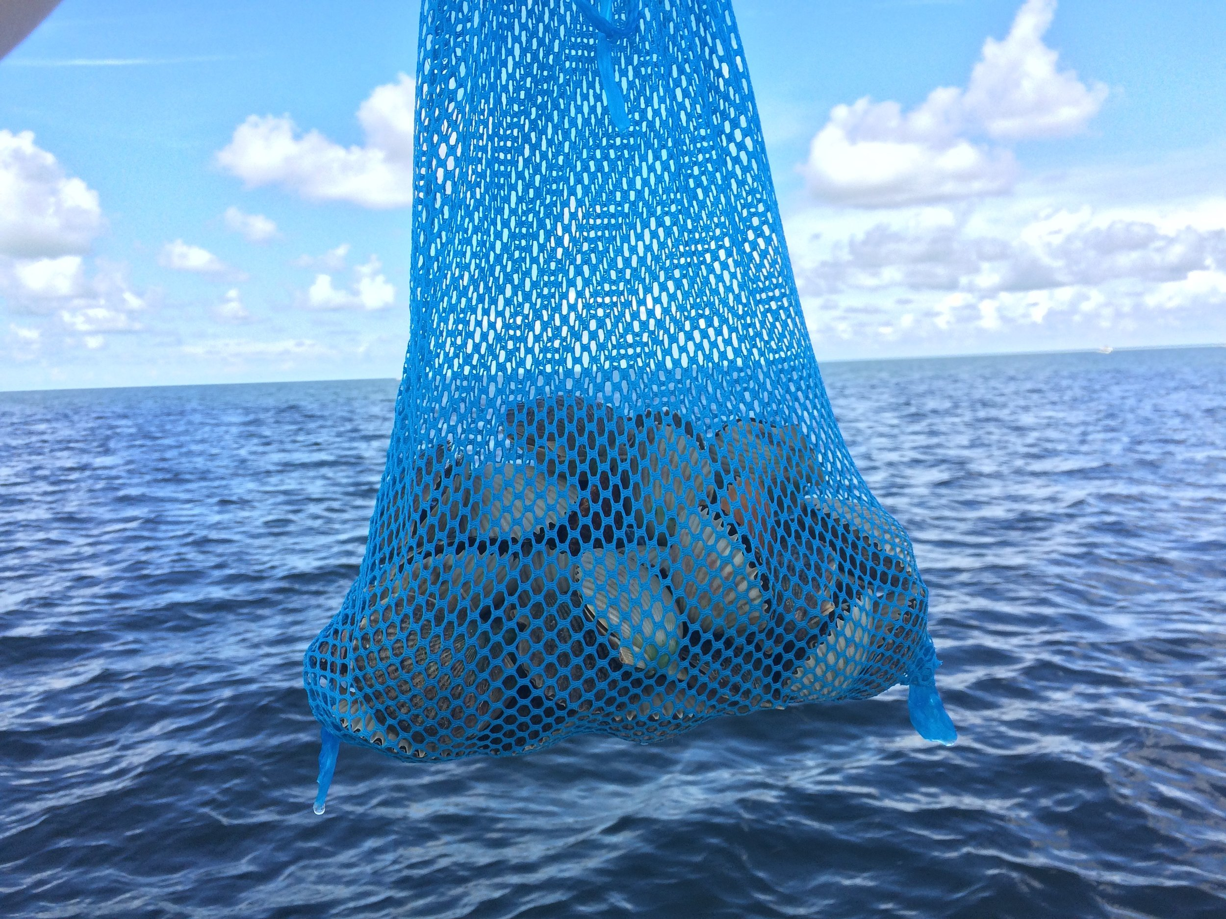 scalloping crystal river