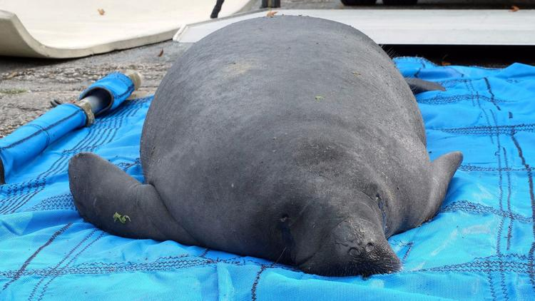 Randall, a manatee stranded in Putnam County, was recently return to the wild after a year of rehabilitation. (Contributed by SeaWorld