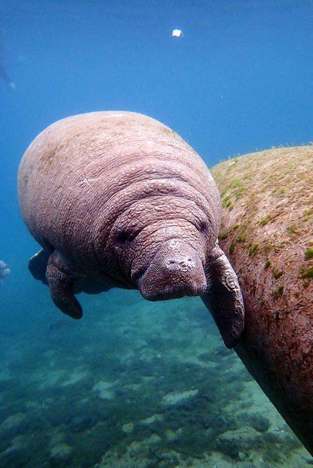 river ventures swim with manatee