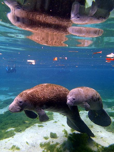 river venture - swim with manatee