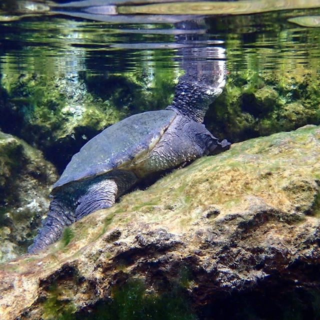 Much more to see than just manatees today!! What an awesome variety of wildlife!! 352-436-8628 to get the scoop on one of our awesome adventures! riverventures.com