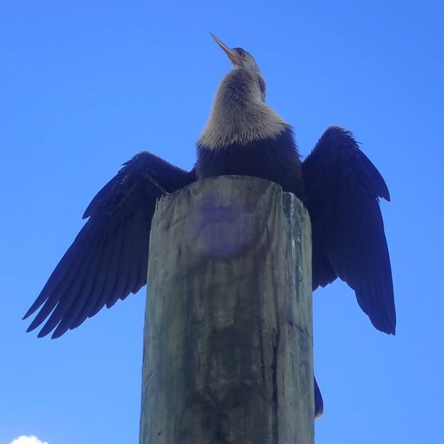 Beautiful juvenile anhinga perching near the water. These interesting birds are a regular sight for us on the Bay! riverventures.com