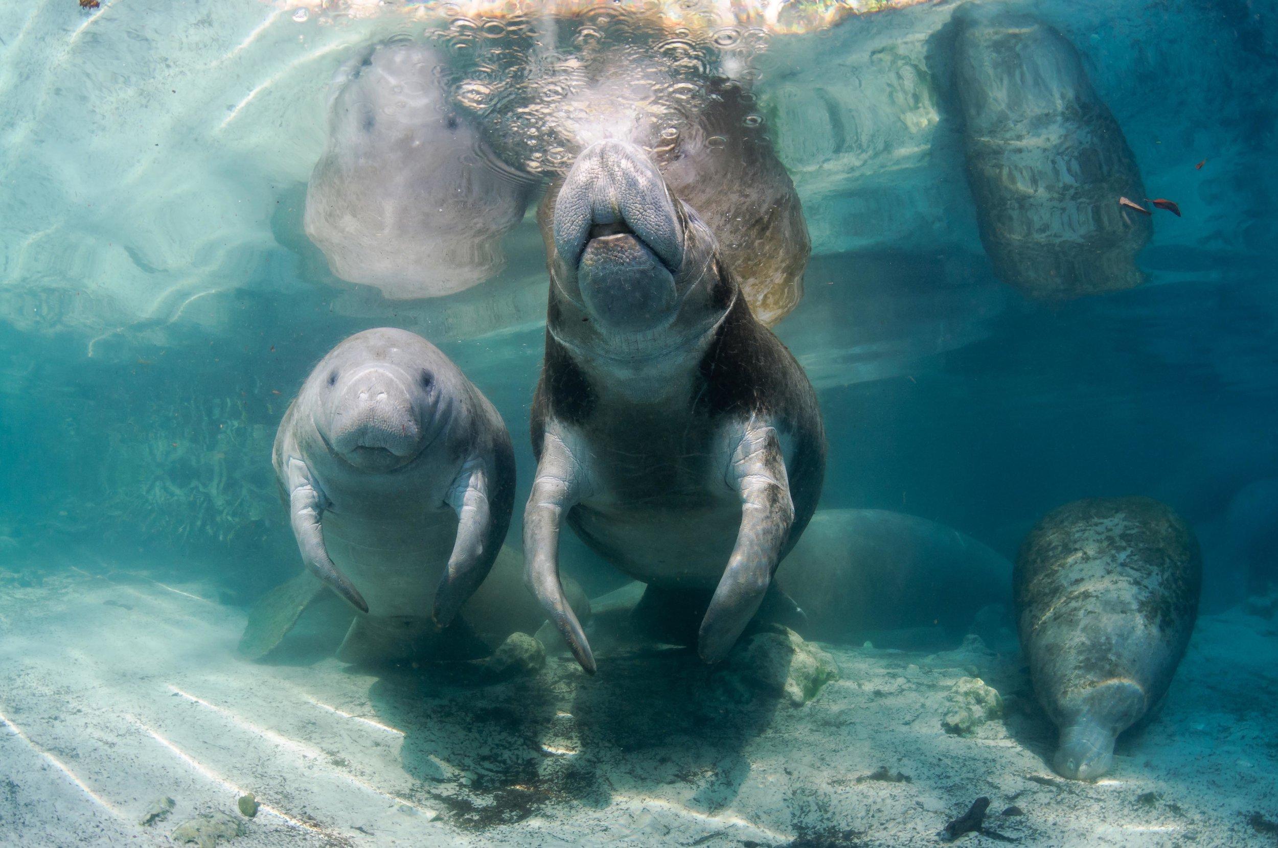 Underwater Three Sisters Springs Manatees.jpg