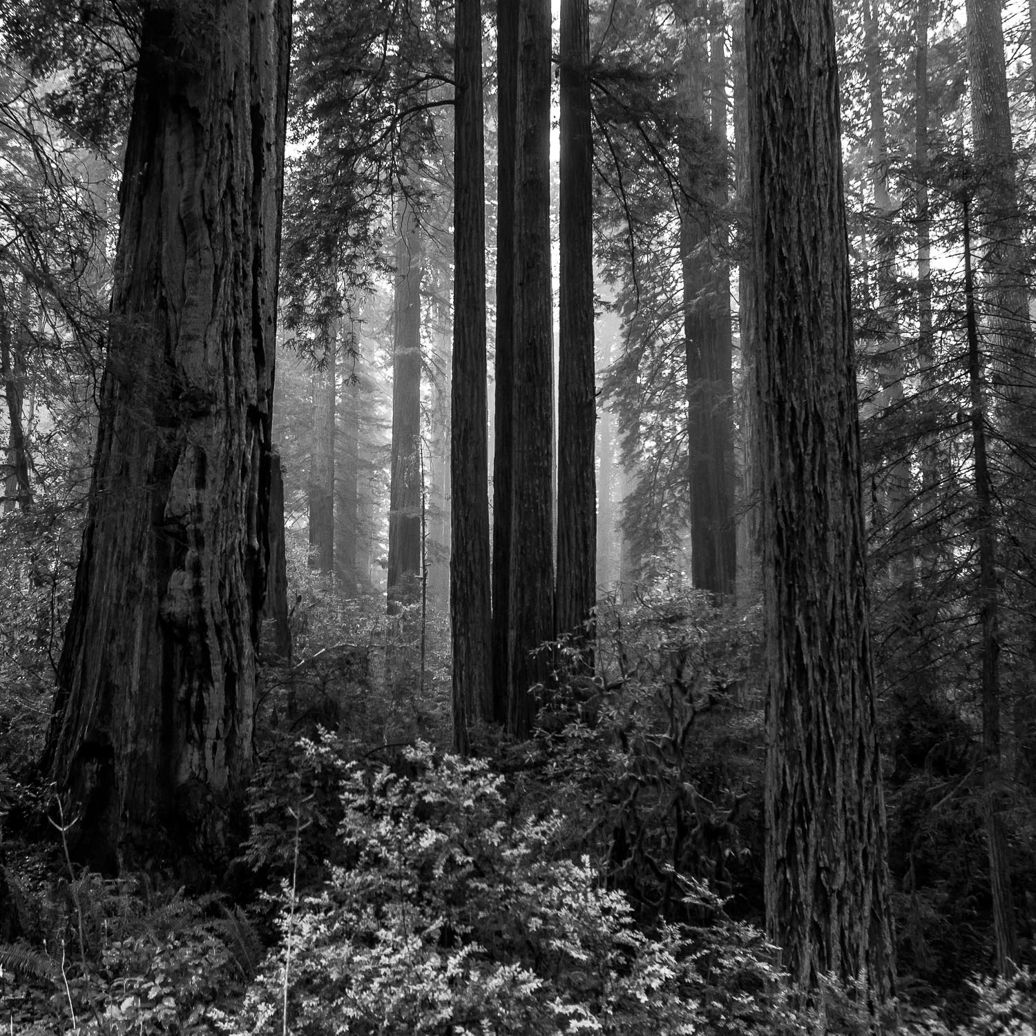 A Meeting with Masters [2014] Redwoods NP, CA, USA