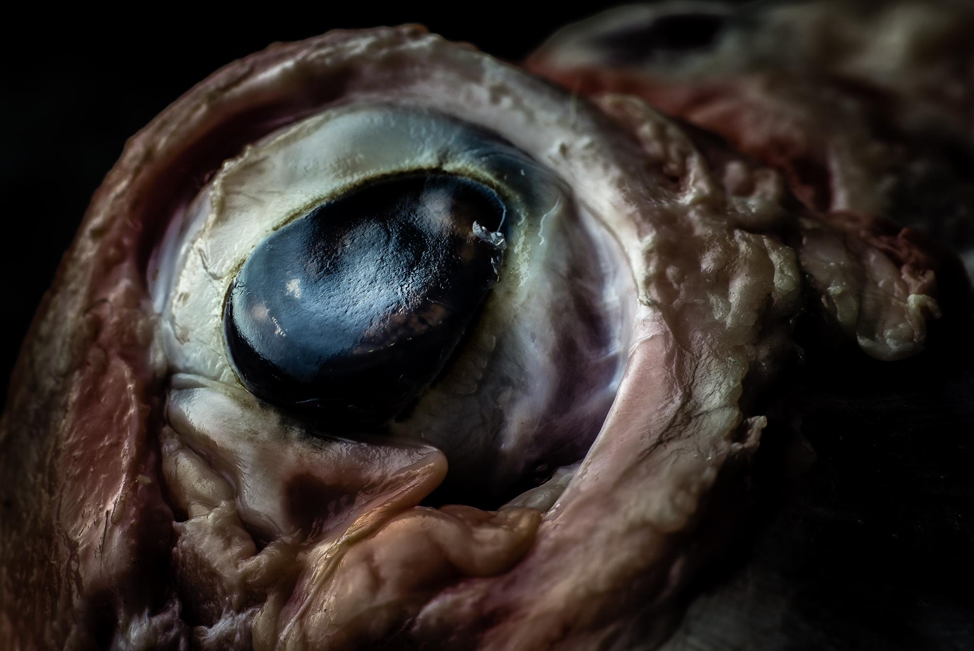 sheep-eye-macro.jpg