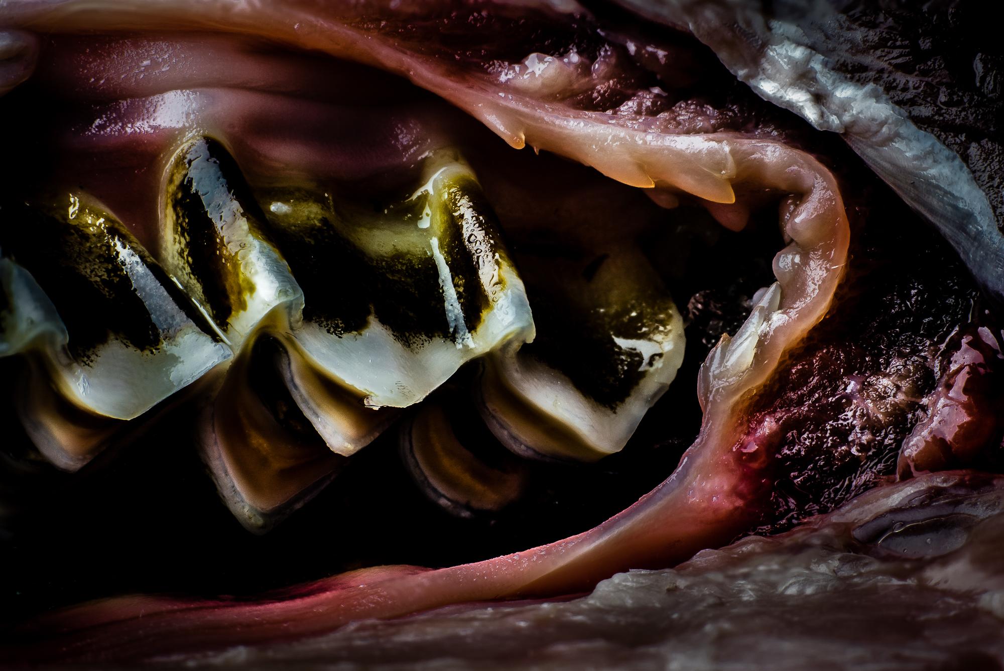 lamb-teeth.jpg