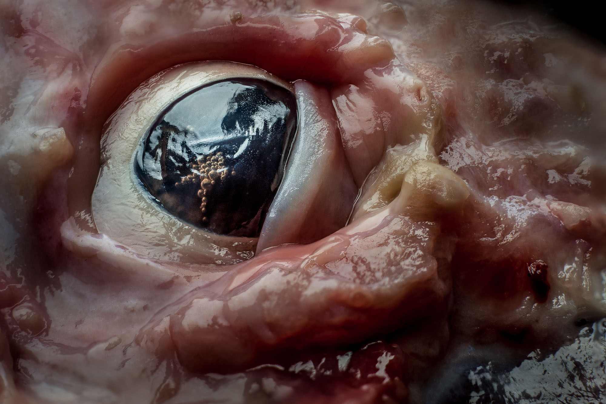 A close-up view of the eye of a pig, with the skin peeled off.