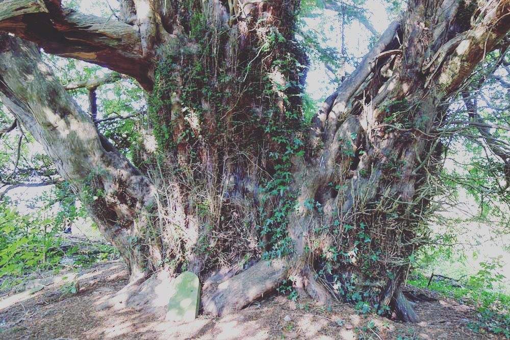 Old Growth Yew