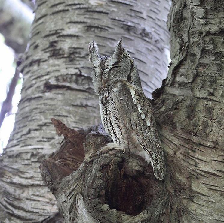 Screech Owl - Photo by Anne Brockel