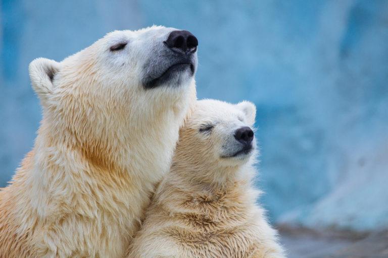 WCS-Polar-Bears-768x512.jpg