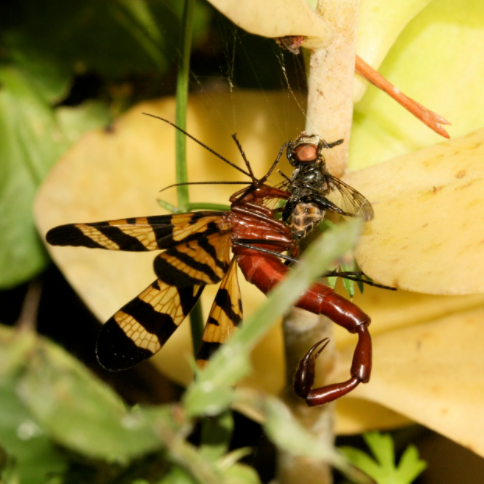 Scorpion Fly.PNG