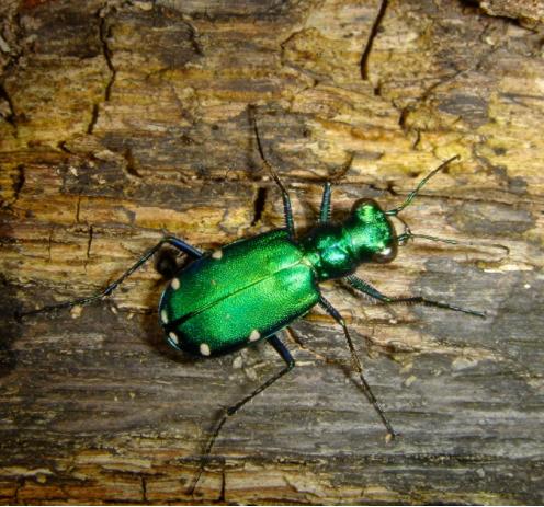 Tiger Beetle.PNG