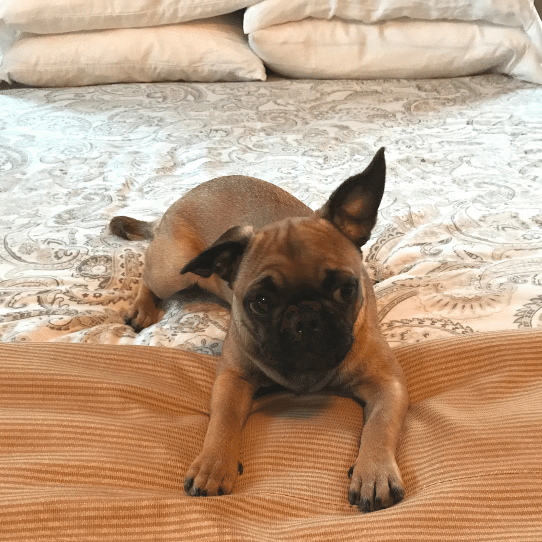 michael-helwig-interiors-5-essential-ways-to-make-your-home-puppy-friendly-invest-in-a-duvet-cover.png