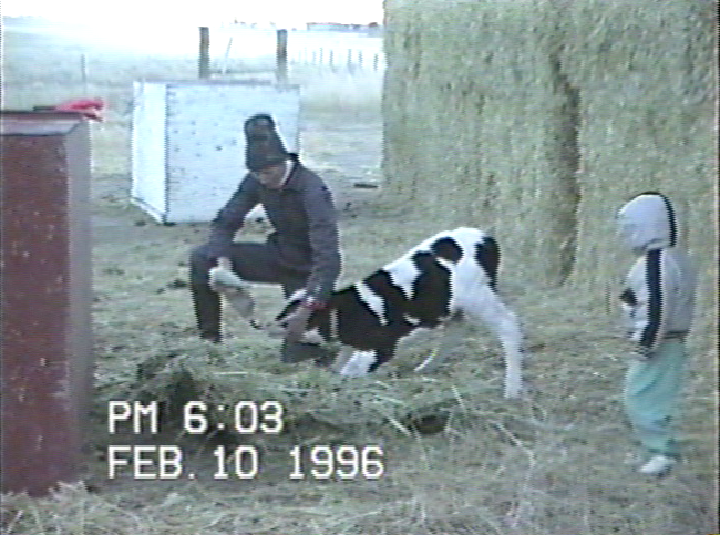 A small child oversees the milking of a calf on the Dunham ranch.