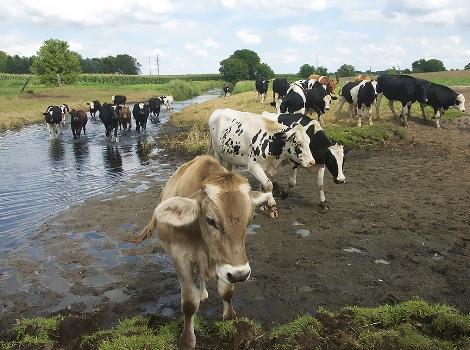 cows crooked creek.jpg