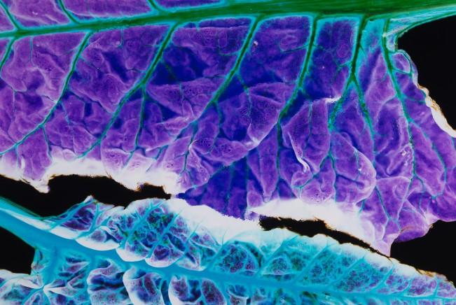 Household Specimen #7: Rainbow Chard with Mealybugs