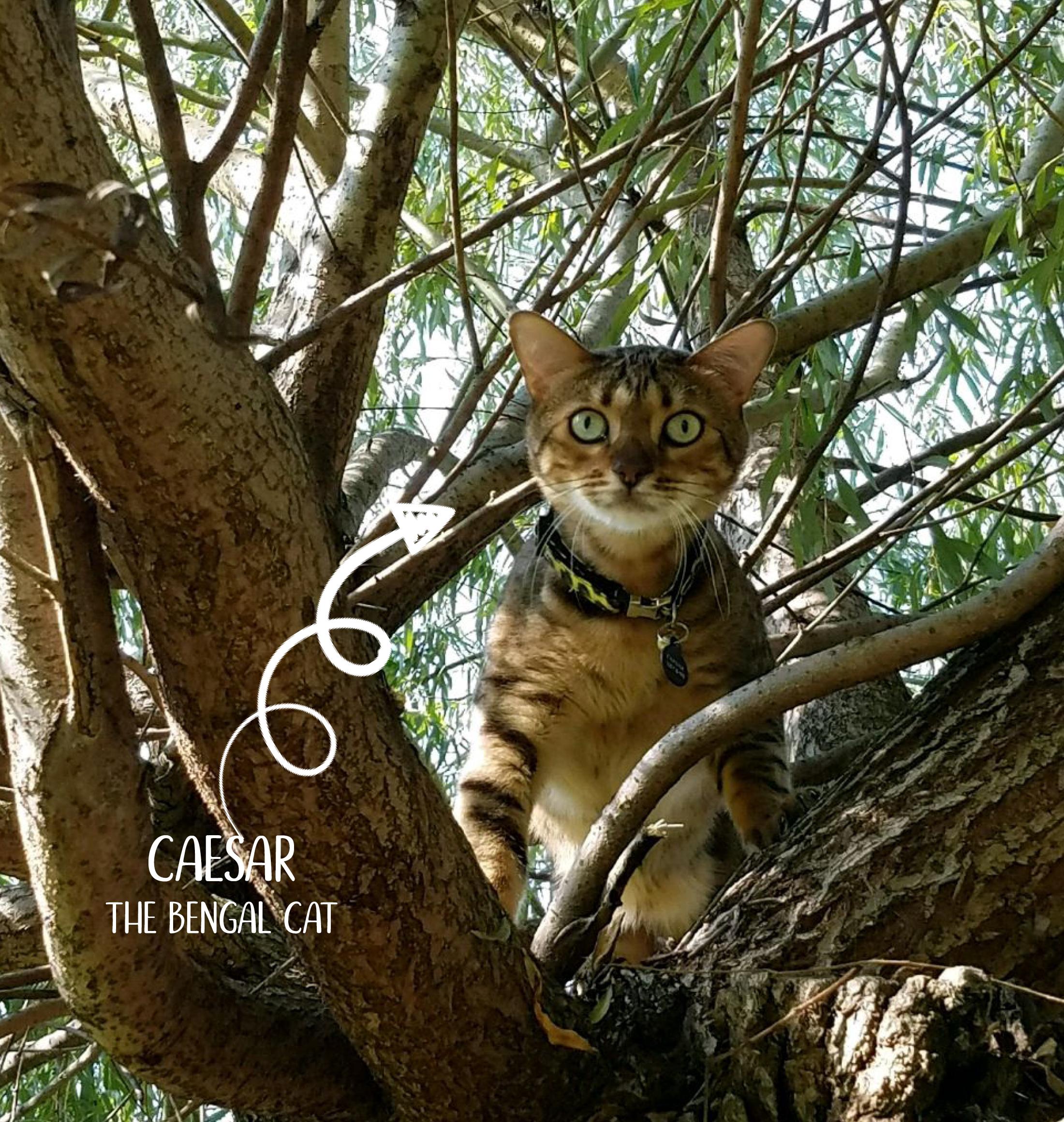 Caesar_cat