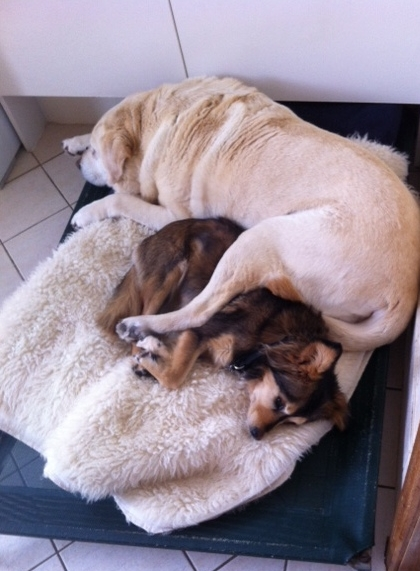 Holly & Lucy (sisters) having a snooze together ....  It's definitely a dogs life!
