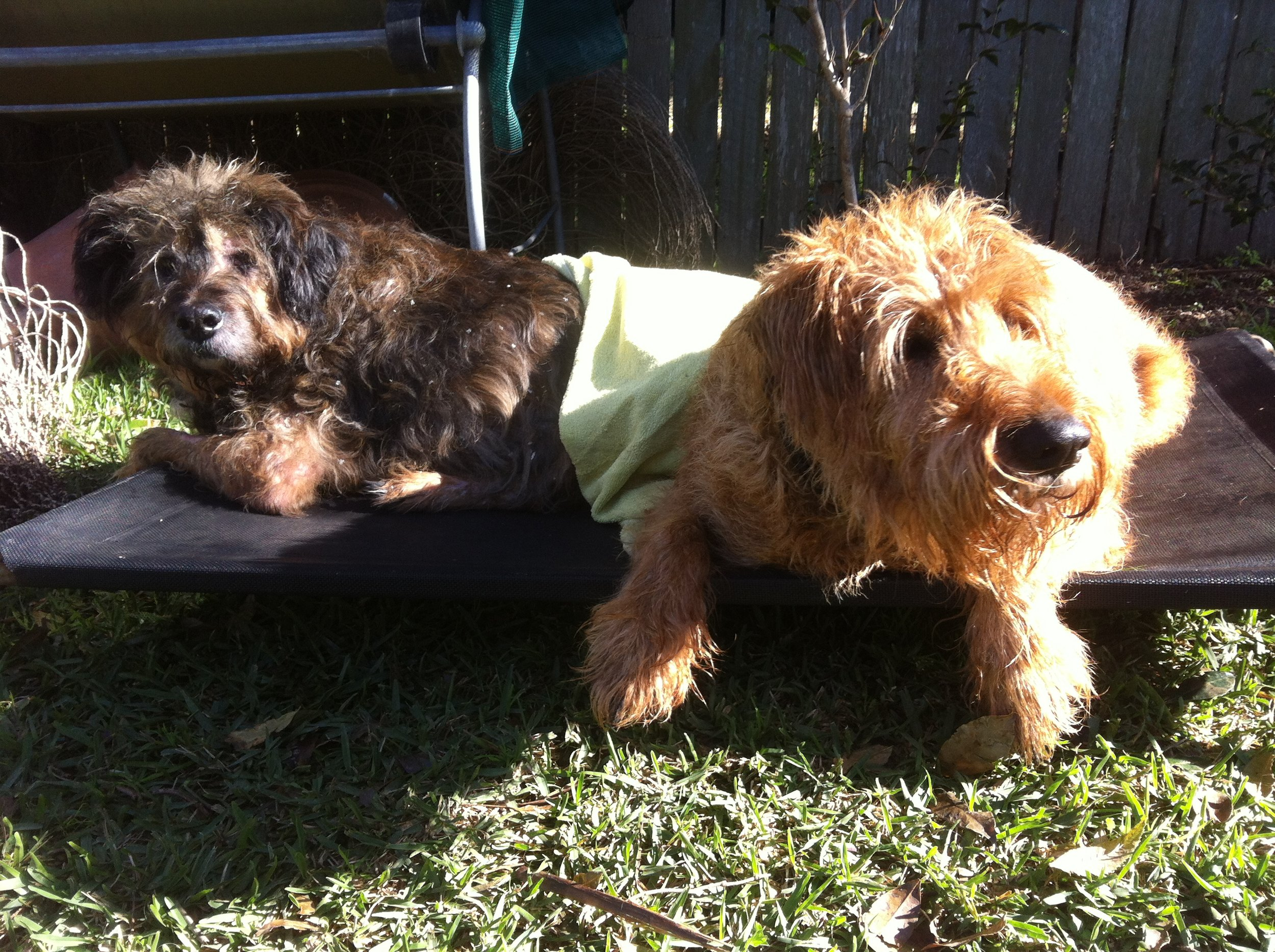 "Adorable brothers ""Rocco & Elroy"" enjoying some sunshine after a warm bath."