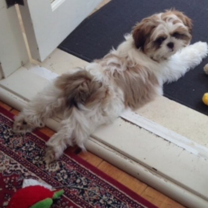 <Our  Shih Tzu  @ 5 months old. Obviously it was hard work getting outside.>