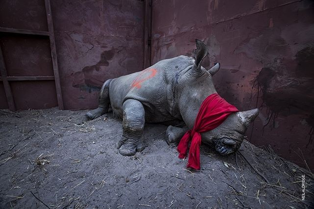 #WPPh2018 | #Roma - #Palazzo delle Esposizioni Fino al 27 maggio. Un giovane esemplare di rinoceronte bianco meridionale, sedato e bendato, in procinto di essere rilasciato nell'ambiente naturale del Delta dell'Okavango, in #Botswana, dopo il trasferimento dal #SudAfrica deciso come misura protettiva contro il bracconaggio. © Neil Aldridge, Waiting For #Freedom, #Environment, first prize singles  @aldridgephoto @worldpressphoto @worldpressphotoroma @10bphotographyy @palazzoesposizioni #palaexpo #photo #photos #exhibition #bestphotos #rhinos #wildlife #noalbracconaggio#photooftheday #all_shots #animallovers