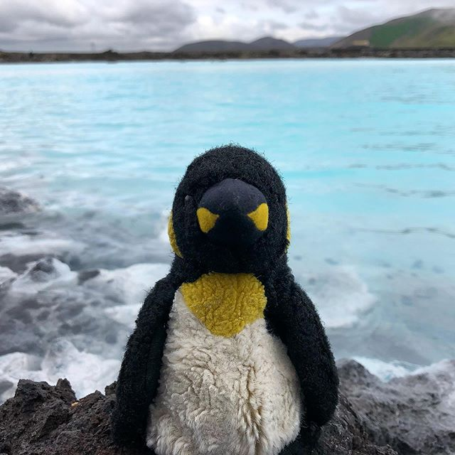 Weiner the Penguin takes on Iceland #bluelagoon #dopenguinslivehere? #idontknow #whatisapuffin #puffinsarelame #penguinforlife #iceland #iceisnice