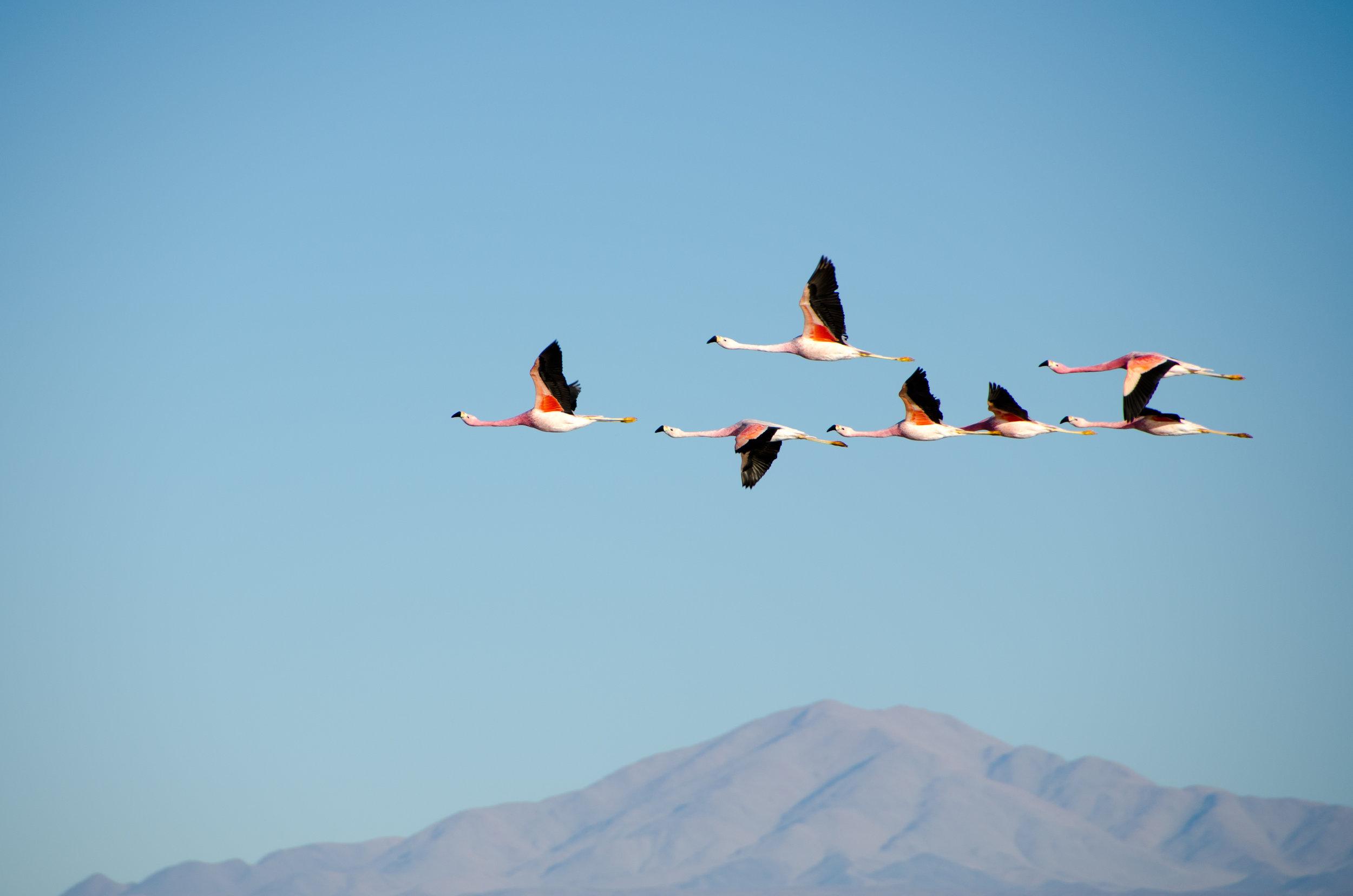 La migration des flamants roses, Kenya