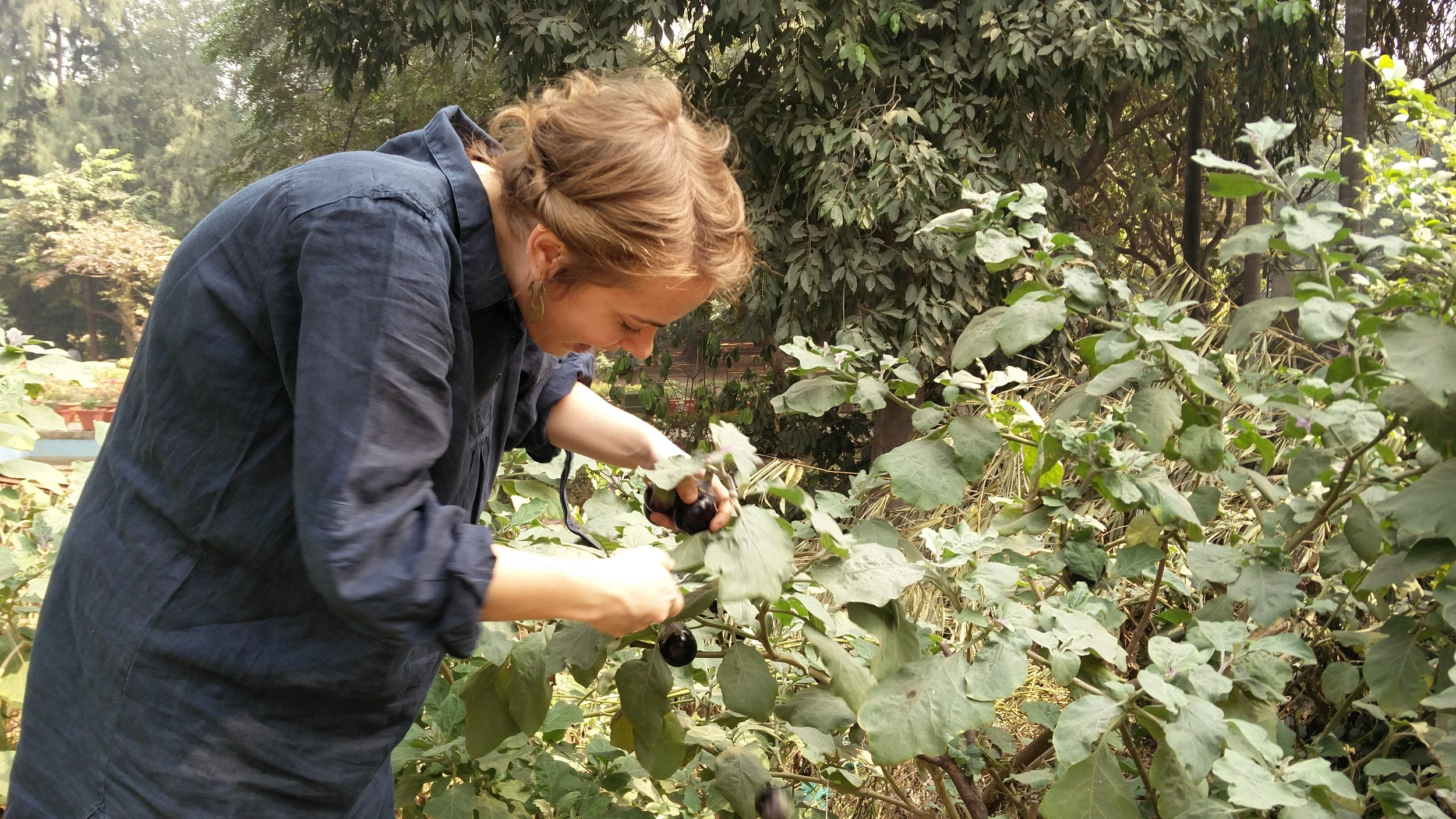 A happy  @adelhikitchen , plucking small, shiny and purple eggplants from a garden bed at the nursery.  They were planted by the maalis who were happy to share some with us. These eggplants have ancestors growing wild in the Southern Delhi Ridge which are native to the Aravallis. If we ever lose our delicious eggplant to a disease, our agriculture scientists can come back to this gene pool.  - Kush