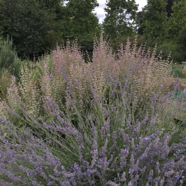lavender in abundance