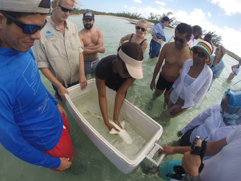 The delegates hold a lemon shark in a sleep state of tonic immobility during a population survey and tagging exercise