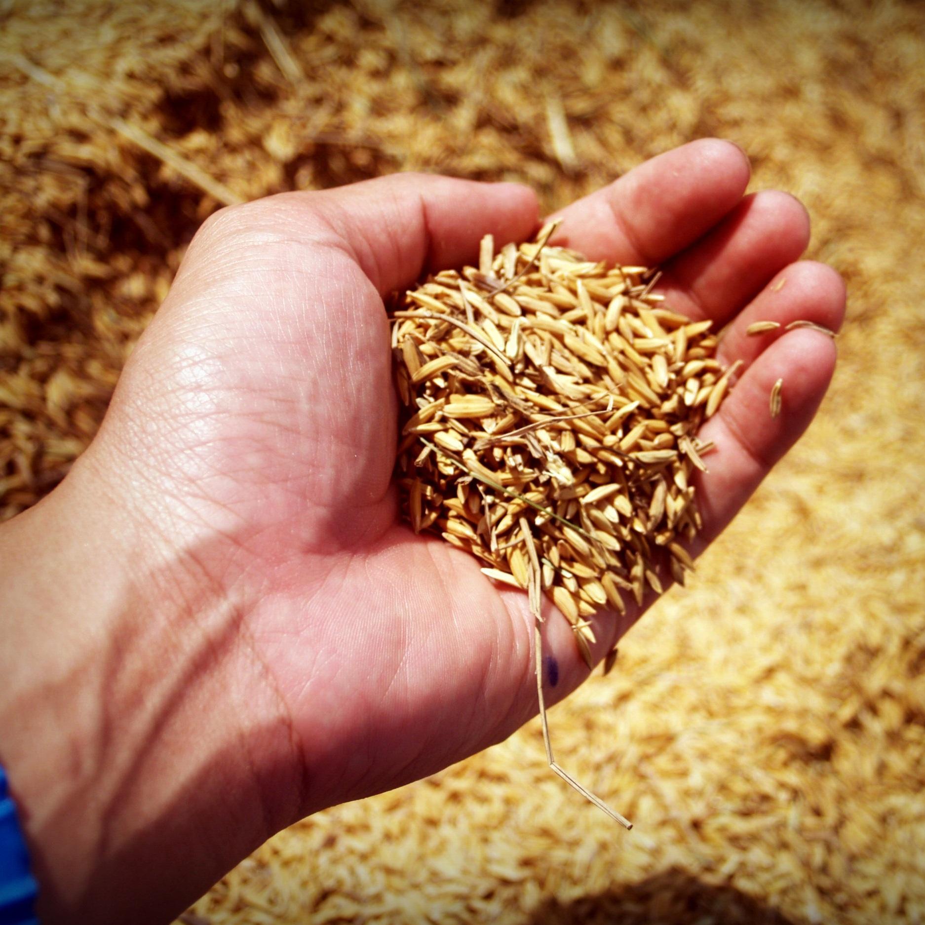 Canva+-+Jasmine+Rice+Seed+Farmer+Hand.jpg