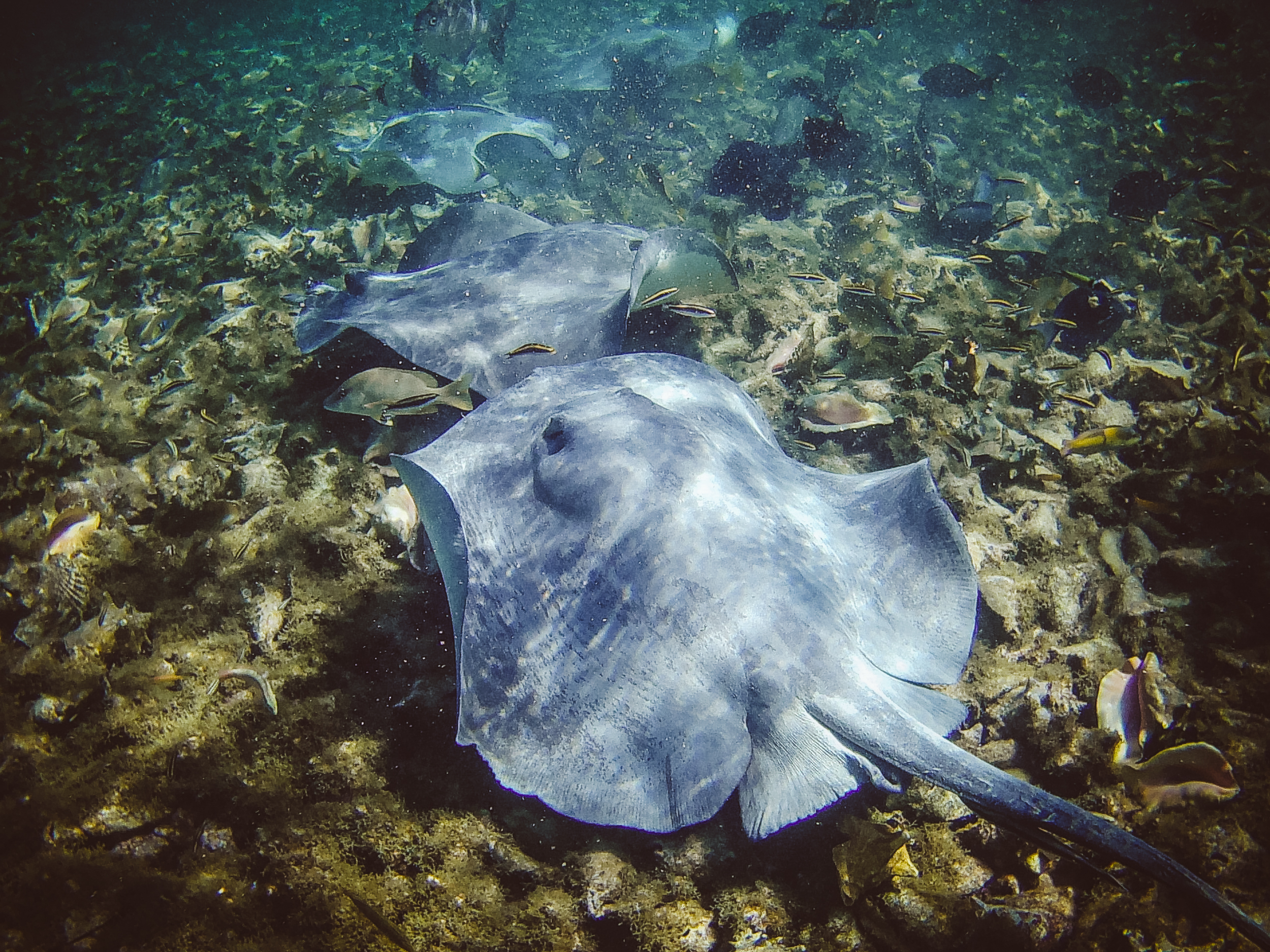 The Southern stingrays were such beautiful, gentle creatures. The nurse and reef sharks were what I came for but didn't get any good photos of either. The  Hol Chan Marine Reserve and Shark-Ray Alley  was the most wonderful way to spend a day underwater.