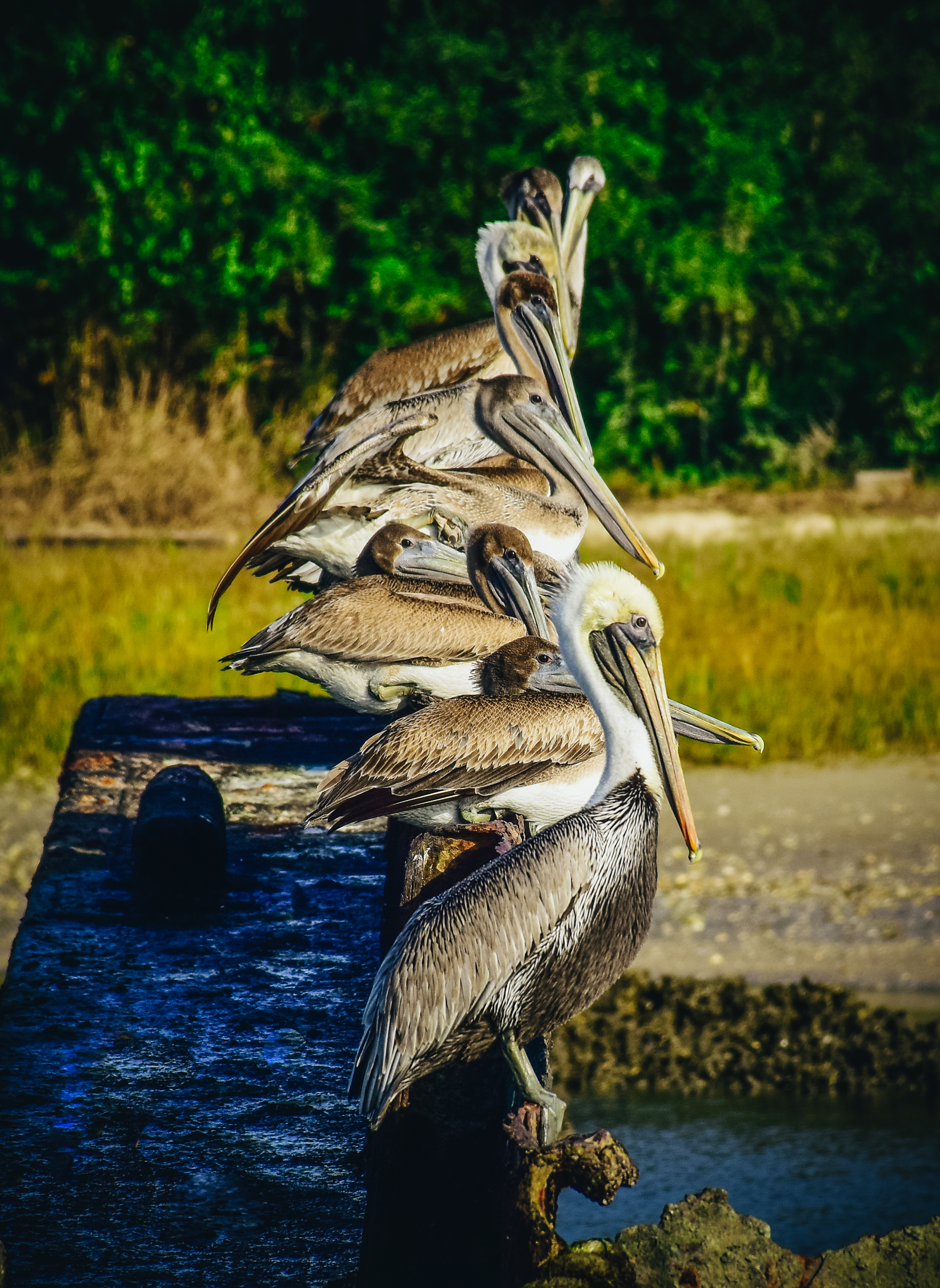 Pelicans! So many, many pelicans everywhere on Amelia Island and especially here at Fernandina Beach.