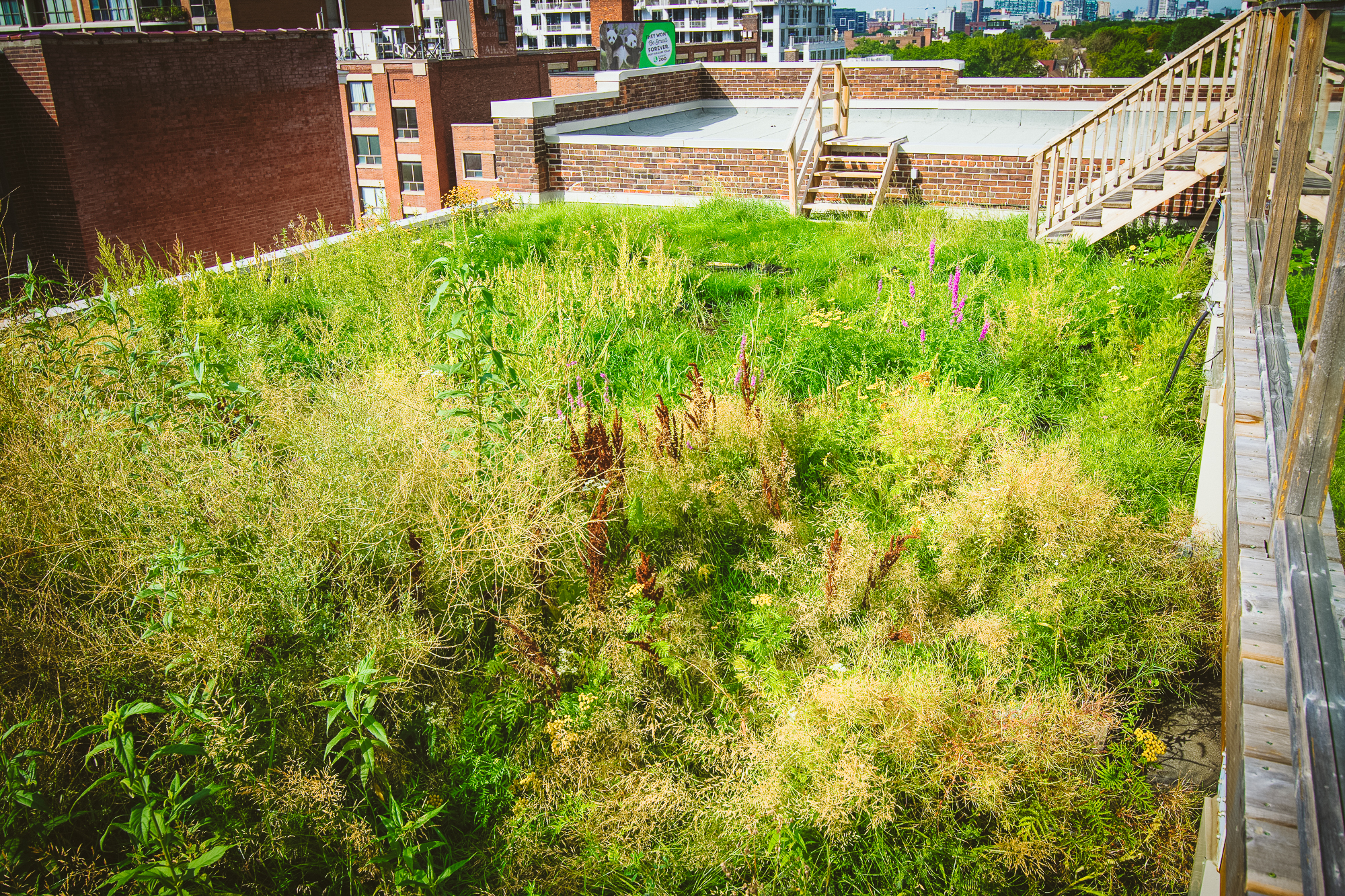 The  Robertson Building  boasts both a green roof and a living wall. The roof is a selection of wild and native grasses and flowers. In midsummer it's at its blooming best and due to the make-up of grasses, it's very hardy to the hot, dry summers as well.